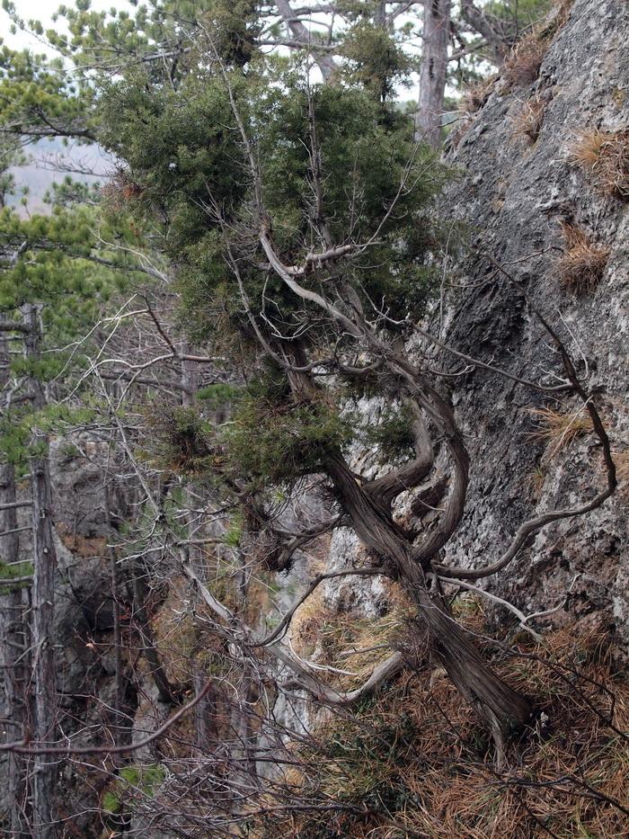 Ein wohl sehr alter Wacholderbaum in einer Felswand knapp unterhalb der westlichen Plateaukante des Scheiterbodens