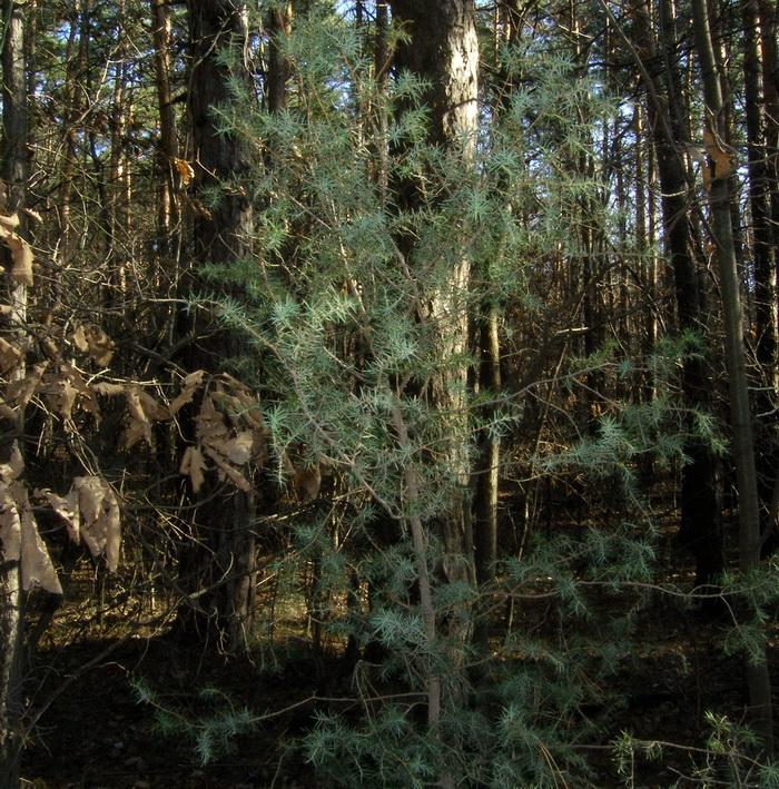 Ein Wacholderstrauch am Rand der Straße in das Manhartstal durch einen Wald aus etwa 80% Rotföhren (=Weißkiefern) und etwa 20% Laubholz
