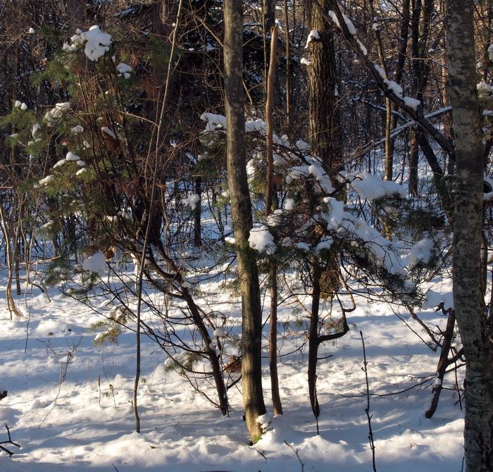 Diese Wacholderbüsche zeigen eigenartig vergeilte (etiolierte) Wuchsmerkmale: dünne, gebogene Stämme, die Benadelung ist im unteren Teil schütter oder fehlt dort gänzlich.