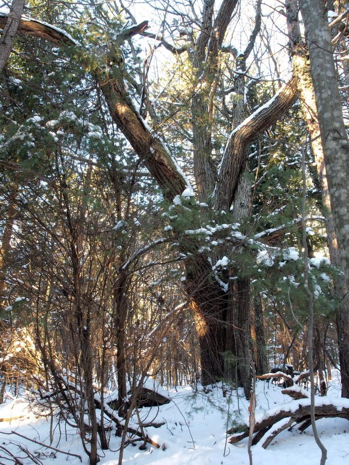 Ein weiterer Wacholderstrauch im ehemaligen Kastanienwald