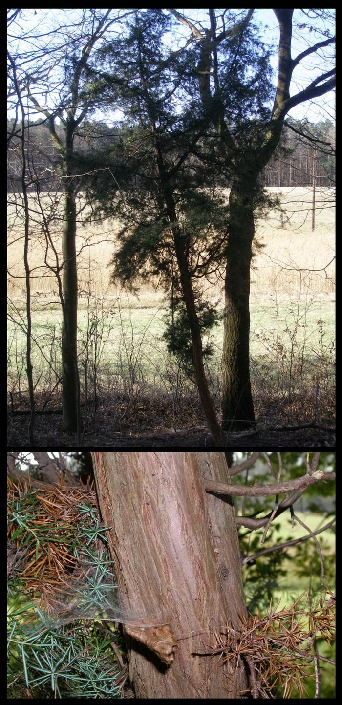 Dieser kräftige Wacholderbaum steht im Schatten von jüngeren Laubbäumen im Saum eines Mischwaldes.
